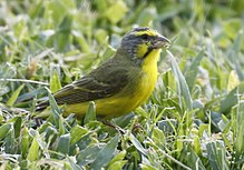Yellow-fronted canary - Wikipedia