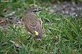 Yellow-rumped Thornbill, On Show - Flickr - birdsaspoetry.jpg