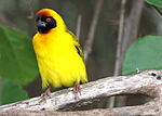Yellow Bird at Olduvai Gorge.jpg