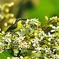 Yellow Sunbird.jpg