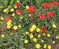 Yellow daisies and red poppies on Ponta do Pargo cliffs - Apr 2013.jpg