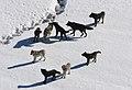 Yellowstone Wolves.jpg