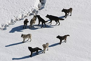 English: The Gibbon wolf pack pauses in the sn...