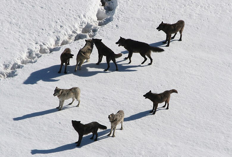 Yellowstone Wolves.jpg