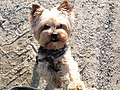 Yorkshire Terrier in front of a wall.jpg