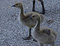 Young Canada Geese (34299061144).jpg