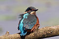 Young Kingfisher, Mere Sands Wood, July 2009.jpg