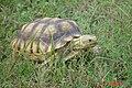 Young Sulcata Tortoise.01.jpg