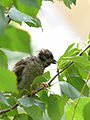 Young Tree Sparrow.jpg