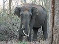 Young Tusker (32027006060).jpg