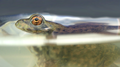Young frog, at surface, side view (5941773146).png