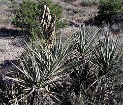 Yucca baccata whole.jpg