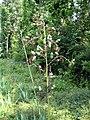 Yucca cernua fh 1185.31 TX BBBB.JPG
