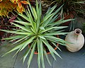 Yucca elephantipes 'Silver Star' Top View 2488px.jpg