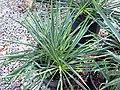 Yucca filamentosa (Adam's needle) 1 (39840491972).jpg