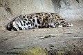 Zürich Zoo Young Snow Leopard (16961901380).jpg