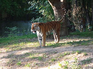 Hellabrunn Zoo - A pair of siberian tigers walking