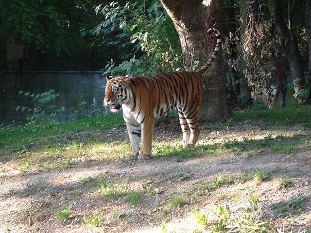 file zoo hellabrunn m nchen sibirski tigrovi u wikipedia. Black Bedroom Furniture Sets. Home Design Ideas