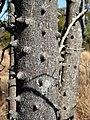 Zanthoxylum capense, stam, Waterberg.jpg