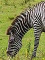 Zebra Arusha NP - 2015-01-10 - 07-06-08.jpg