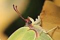 Zitronenfalter Gonepteryx rhamni 9665.jpg