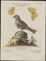Zonotrichia albicollis - 1700-1880 - Print - Iconographia Zoologica - Special Collections University of Amsterdam - UBA01 IZ16000289.tif
