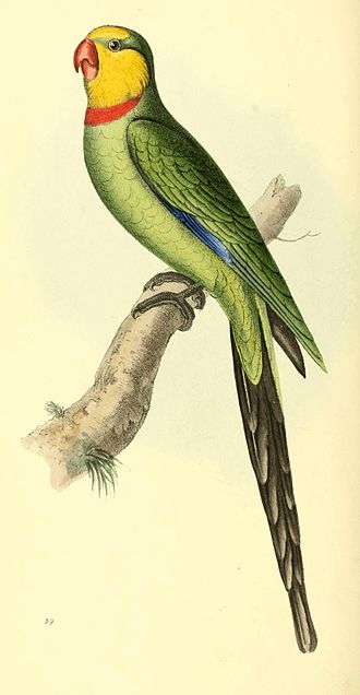Zoological Illustrations Volume I Plate 59.jpg