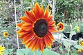 'Harlequin' sunflower IMG 7130.jpg