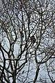 'Malabar Pied Hornbill at Sri lanka Kumbukkan oya'.jpg