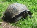 (Chelonoidis nigra) El Chato Reserve, Santa Cruz Galapagos )pic. o.JPG
