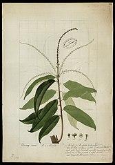 (Euphorbiaceae)