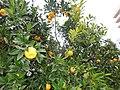 «Дерево дружбы» с плодами, улица Фабрициуса, 2, Хостинский район, Сочи.jpg