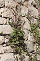 Épervière des murailles-Hieracium murorum-20150410.jpg