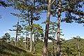 Đương lên đồi Mimosa thung lũng tình yêu - panoramio (2).jpg