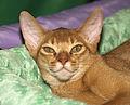 Абиссинский кот (5351857019).jpg