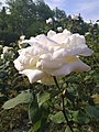 Белая роза в парке Дендрариум.jpg