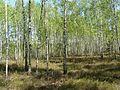 Березово-вересковий ліс.jpg