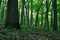 Дубово-грабовий ліс Виграївський.jpg