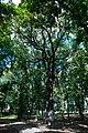 Дуб в парке Асеева. Ему более 200 лет.jpg