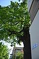 Дуб черешчатий по вулиці Шевченка 16.jpg