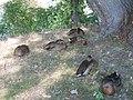 Київ, птахи на Крістеровій гірці 06.jpg