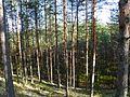Лес mežs - panoramio (1).jpg