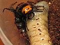 Самка Megascolia maculata и личинка жука-носорога.JPG