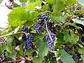 Синий дальневосточный виноград ф2.JPG