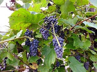 Vitis amurensis - Image: Синий дальневосточный виноград ф2
