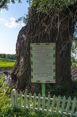 Угілецька тополя