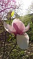 Цвітіння рожевої магнолії.jpg
