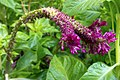 گل تاج خروس-Unidentified Amaranthus in iran 05.jpg