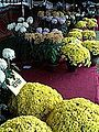 गोदावरी फूल२.jpg