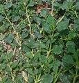சாரணத்தி (Trianthema portulacastrum).jpg
